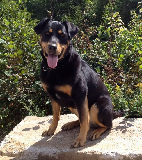 Dog aggressive Rottweiler rehabilitated by Unleashed Potential Trainer.