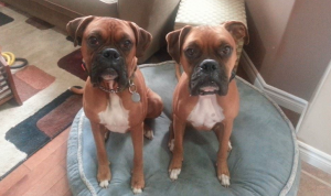Boxer Dog Training Stratford PEI