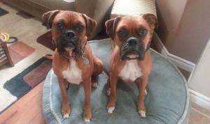 Boxer Dog Training Stratford PEI
