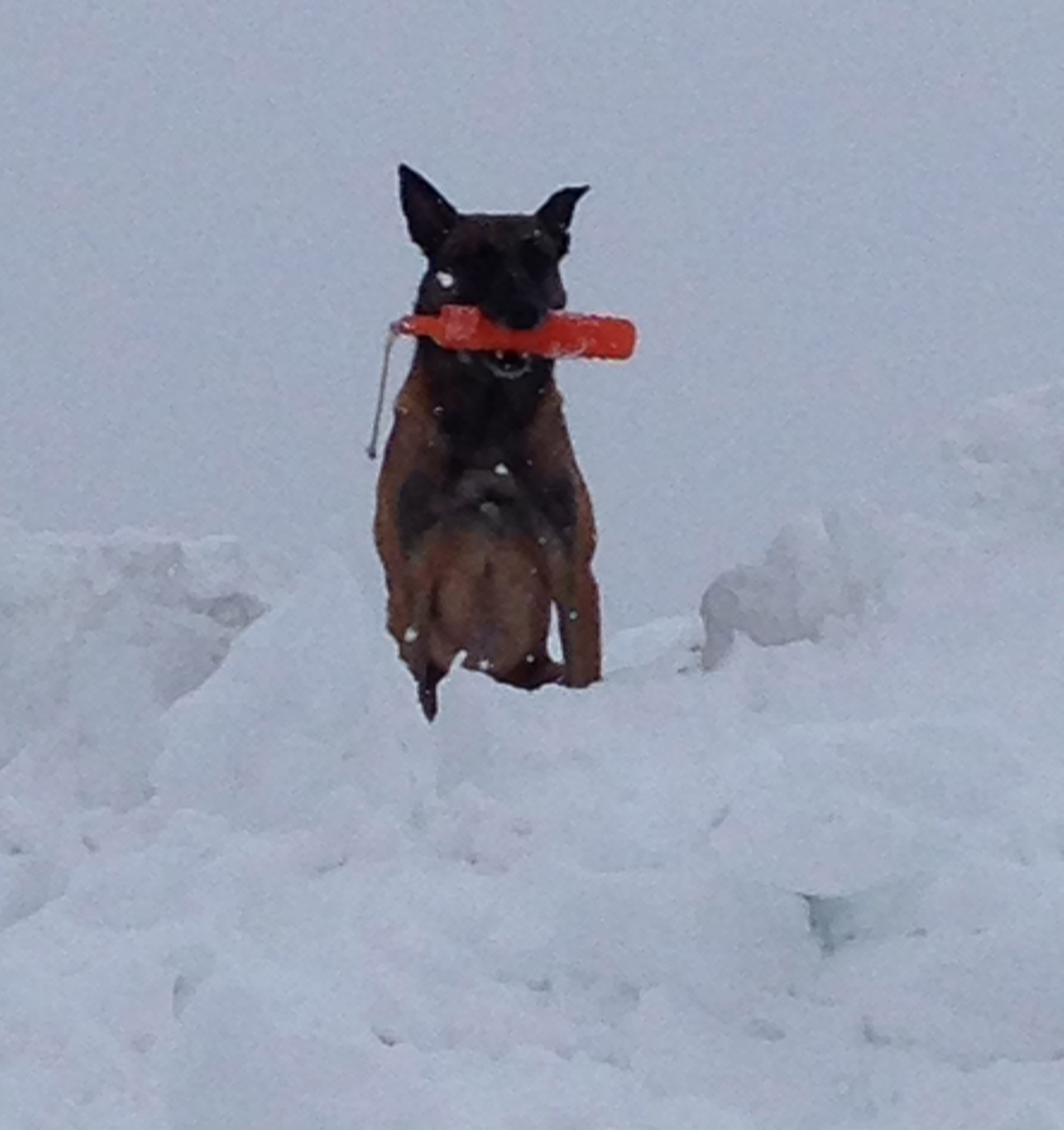 Belgian Malinois Gets His Toy Back From Where The Fox Left it: Blind Retrieve On Ice