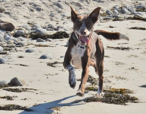 Max responding to his recall command at the beach.