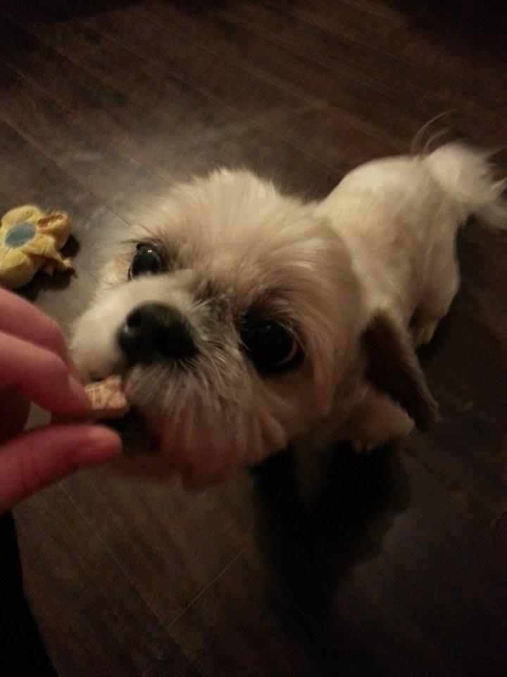 Training Small Breed Dogs like Jake the Shih-Tzu