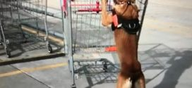 The Lazy Dog Trainer IV! Get The Dog To Push It! Shopping Cart Blues