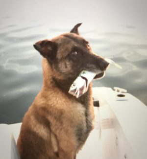Malinois Fetching Fish! One Benefit to a Trained Retrieve