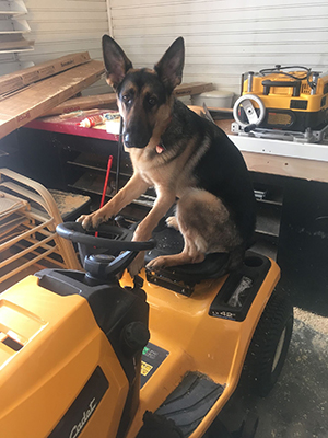 Trained dog sitting on small tractor