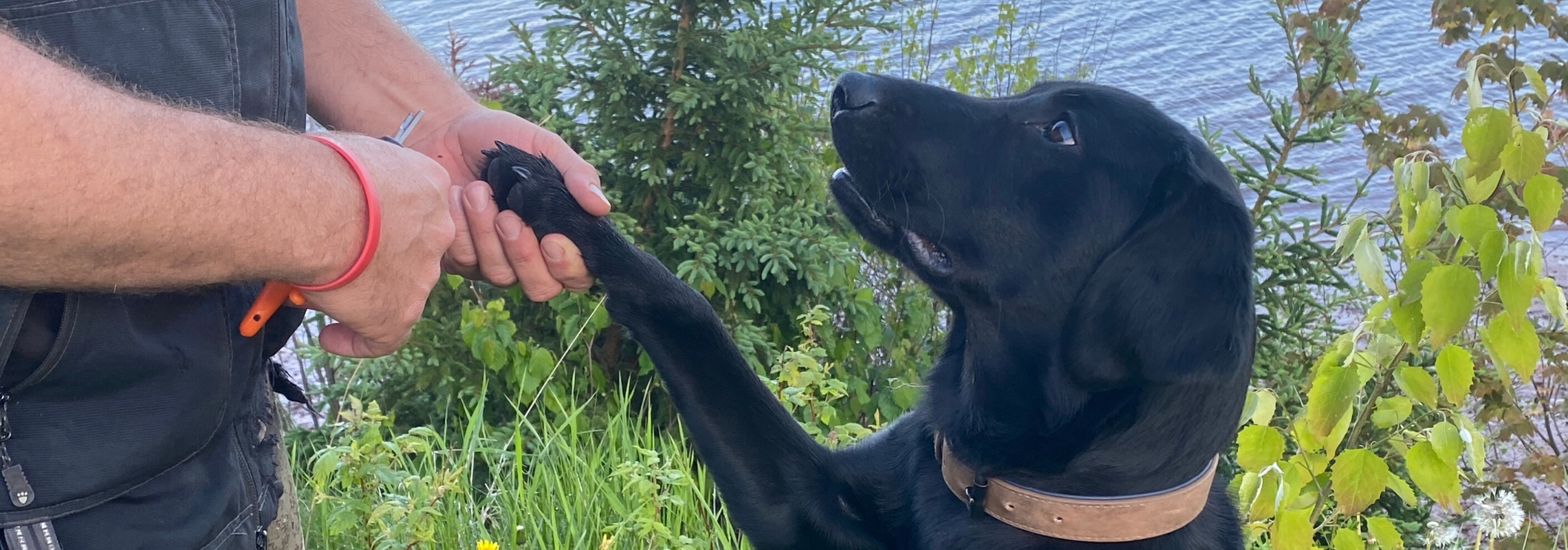 Black lab, Koal offering paw to get trimmed