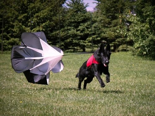 Dog running with XDOG vest and parachute