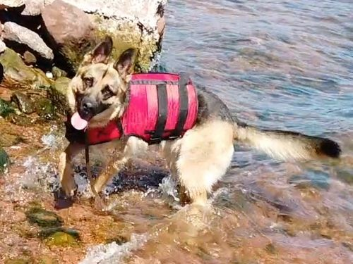 dog swimming with XDOG vest