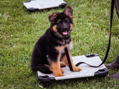 puppy class puppy